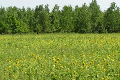 Sunflowers Field - Copy